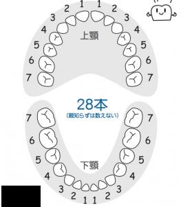 の 本数 歯
